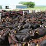 Beef Ration Management